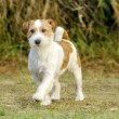 Jack Russell Terrier — Stock Photo #37221127