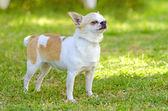 Chihuahua — 图库照片
