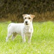 Jack Russell Terrier — Stock Photo #39231599