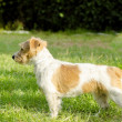 Jack Russell Terrier — Stock Photo #39296083