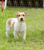 Jack Russell Terrier — Stock Photo