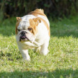 English Bulldog — Stock Photo #39441137