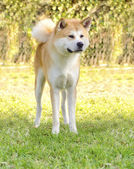 Akita Inu — Stock Photo