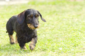 Dachshund (Wirehaired) — Stock Photo