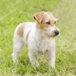 Jack Russell Terrier — Stockfoto