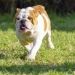 English Bulldog — Stock Photo #39693699