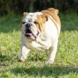 English Bulldog — Stock Photo #39769205