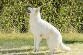 Berger Blanc Suisse — Stock Photo