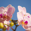 Pink Orchid, Phalaenopsis — Stock Photo #40673433