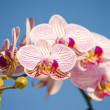 Pink Orchid, Phalaenopsis — Stock Photo #40673475