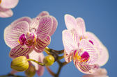 ハワイピンクの蘭, コチョウラン — ストック写真