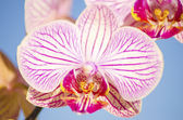 Pink Orchid, Phalaenopsis — Stock Photo
