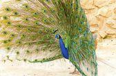 Indian peacock — Stock Photo
