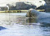 Polar bear — Foto de Stock