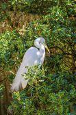 Volavka bílá — Stock fotografie