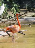 Caribbean Flamingo — Stock Photo