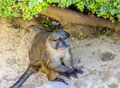 Allen's swamp monkey — Stockfoto