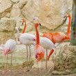 Caribbean Flamingo — Stock Photo #43943883