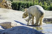 Polar bear — Stockfoto