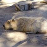 Capybara — Stock Photo #44472659