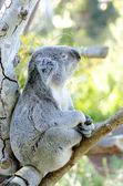 Koala — Photo