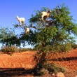 Goat feeding in argan tree - Stok fotoğraf
