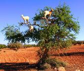 Goat feeding in argan tree — Stock Photo