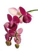 The orchid — Stock Photo