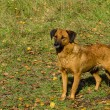 Brown dog in stance — Stockfoto #18328071