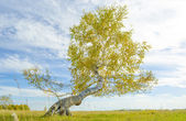 Árvore solitária — Fotografia Stock