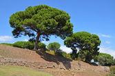 Giant pine trees (Pinus pinea) — Stock Photo