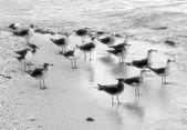 Seagulls from yucatan — Stock Photo