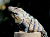 Yucatan Native Iguana — Photo