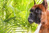 Boxer Dog — Stock Photo