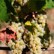 Stock Photo: Grapevine white