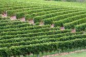 Vineyard, harvest time — Stock Photo