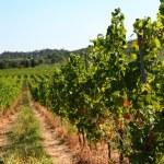 Vineyard, harvest time — Stock Photo #14475965