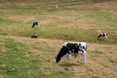 A cow eating grass, landscape photo — Stock Photo