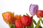 Fresh red, orange and violet tulips isolated on white background — Stock Photo