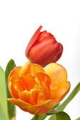 Verse rode en oranje tulpen geïsoleerd op witte achtergrond — Stockfoto