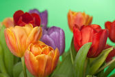 Fresh red, orange and violet tulips with water drops isolated on green — Stock Photo