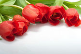 Fresh red tulips with water drops isolated on white background — Stock Photo