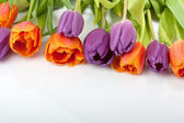 Fresh red and orange tulips isolated on white background — Stock Photo