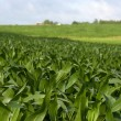 Cornfield in the summer - Stock Photo