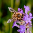 Bee sitting on lavender - apis mellifera — Stock Photo