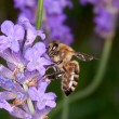 Stock Photo: Bee sitting on lavender - apis mellifera