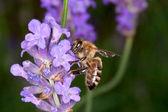 Bee sitting on lavender - apis mellifera — Stock Photo