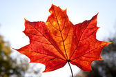 Fall colorful maple leaf backlit — Stock Photo