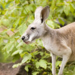 Kangaroo — Stock Photo #13551291