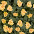 Yellow roses — Stock Photo #14846277